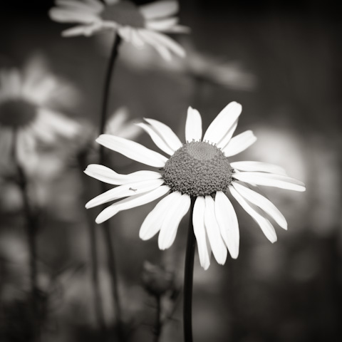 Oxeye Daisy, Galloway, Scotland.